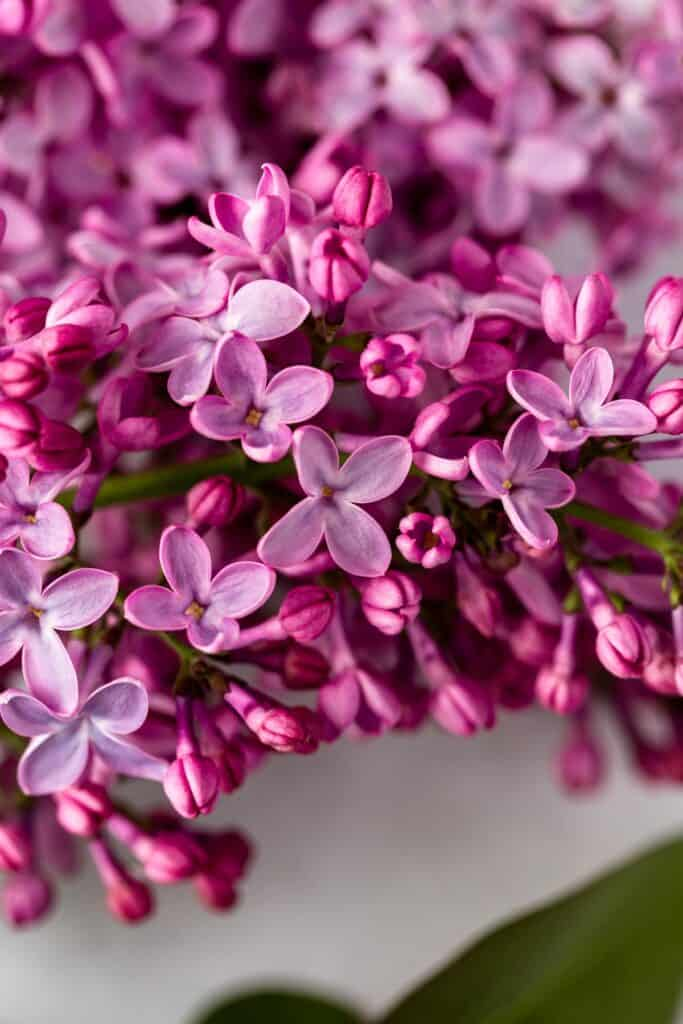 A close-up view of lilac flowers