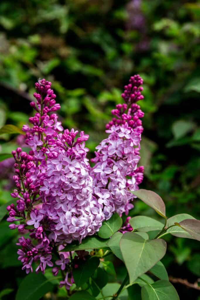 Lilacs flowering on the bush
